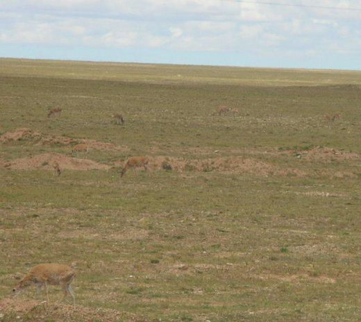 regardez bien : il y a des antilopes ! (photo JPDes., Changtang, 2007)